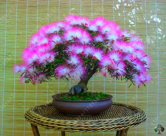 20 pcs Acacia tree seeds, (albizia julibrissin) bonsai flower seeds Perennial indoor plant
