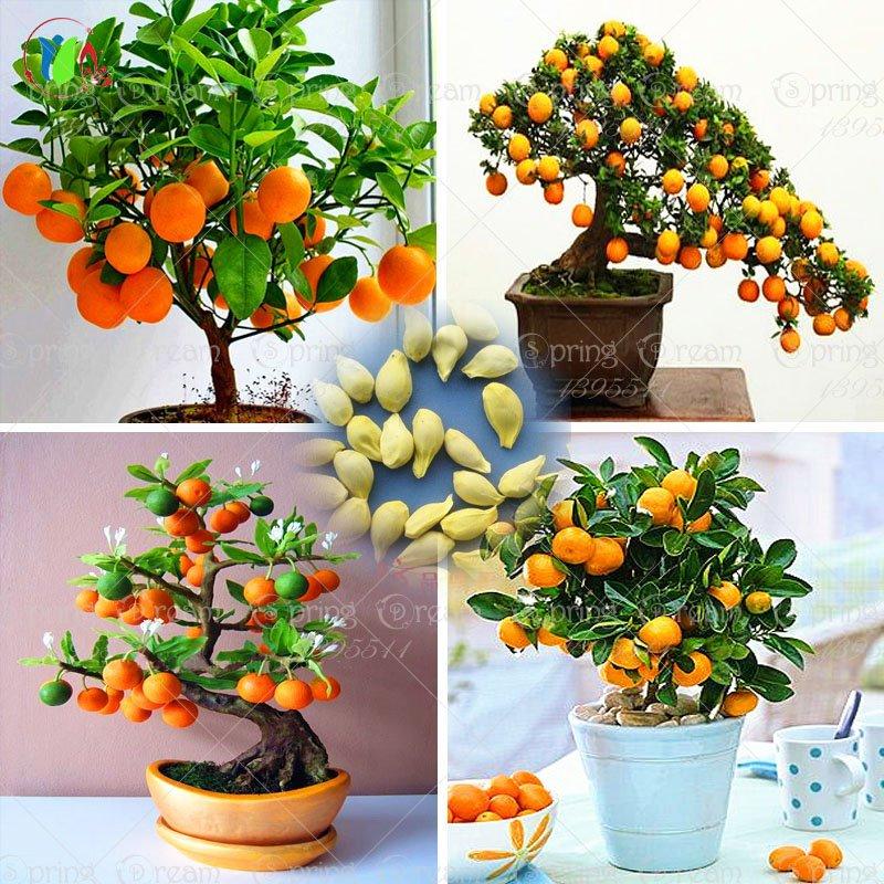 40 /Bag Bonsai Orange Tree Seeds Organic Fruit Tree Seeds For flower pot planters very delicious
