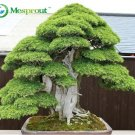 Bonsai seeds 30 pcs Japanese Red Cedar - Cryptomeria japonica seeds - Bonsai Tree Evergreen