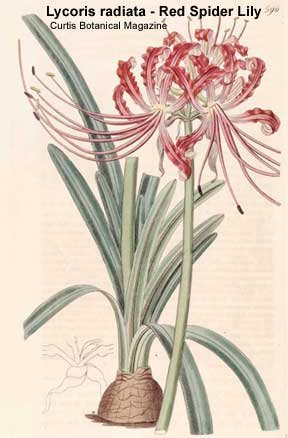 10 RED Arkansas SPIDER LILIES (Lycoris radiata)
