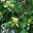 3-Tulip Tree Sapling 1-2'