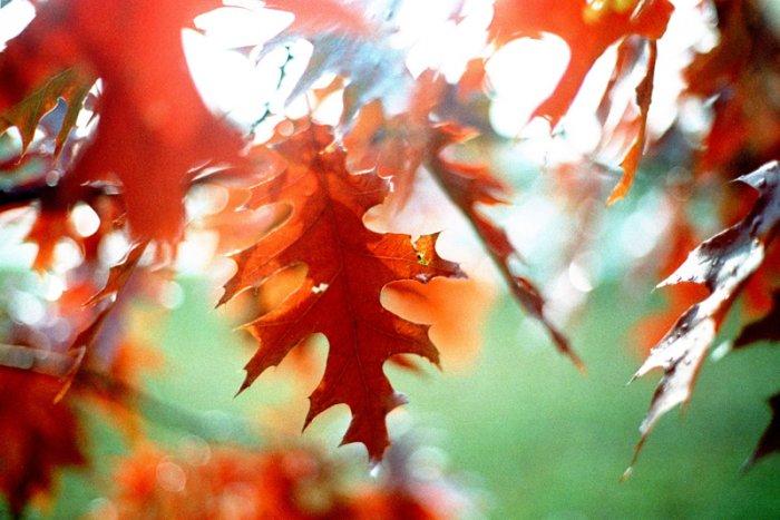 fall foliage - 8x12 print
