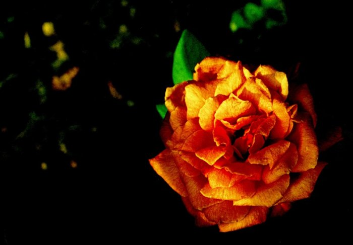 a rose by any name - 8x10 print