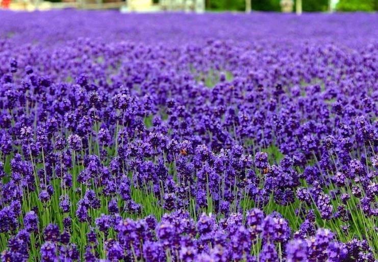 English Lavender Lavandula angustifolia 250 seeds * Elegant * Beautiful * *SHIPPING FROM US* CombSH