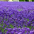 English Lavender Lavandula angustifolia 250 seeds * Elegant * Beautiful * *SHIPPING FROM US* CombSH