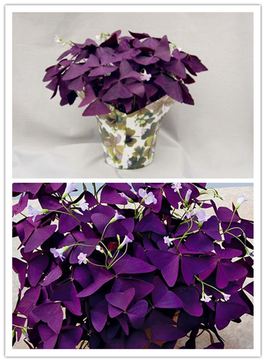 Purple Shamrock- Oxalis triangularis Bulbs * Easy Grow * Perennial * *SHIPPING FROM US* CombSH B24