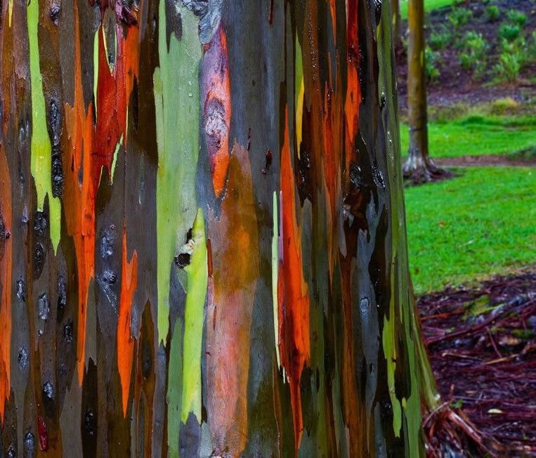 Rainbow Eucalyptus approximate 50 seeds *Eucalyptus deglupta*Rare Exotic *SHIPPING FROM US* CombSH