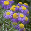 Fleabane daisy 1000 seeds Erigeron speciosus * Showy * Garden * perennial *SHIPPING FROM US* CombSH