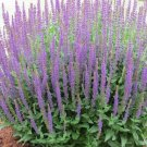 Hyssop Hyssopus officinalis 500 seeds * Grow your own herb * ez grow *SHIPPING FROM US* CombSH E22