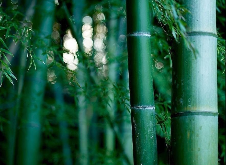 Giant Moso bamboo Phyllostachys Pubescens 5, 10, 25, 50�100 + seeds *SHIPPING FROM US* CombSH