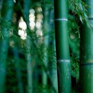 Giant Moso bamboo Phyllostachys Pubescens 5, 10, 25, 50,100 + seeds *SHIPPING FROM US* CombSH