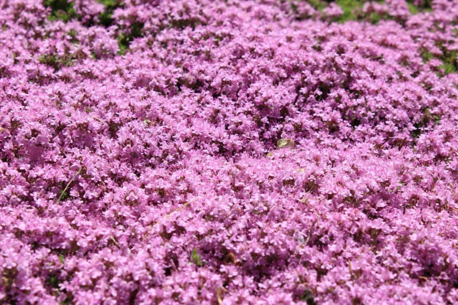 500 Creeping Thyme seeds  WALK ON ME Thymus serpyllum Herb Flower CombSH