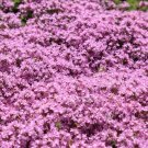 500 Creeping Thyme seeds  WALK ON ME Thymus serpyllum Herb Flower CombSH