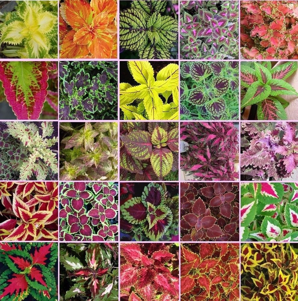 Coleus blumei Rainbow Mix 250 seeds * Beautiful Foliage * Eye catching * *SHIPPING FROM US* CombSH