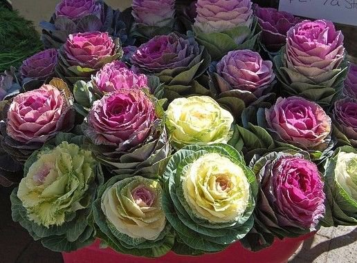 Ornamental Cabbage 50 seeds * Low maintenance * Wonderful Foliage * *SHIPPING FROM US* CombSH E36
