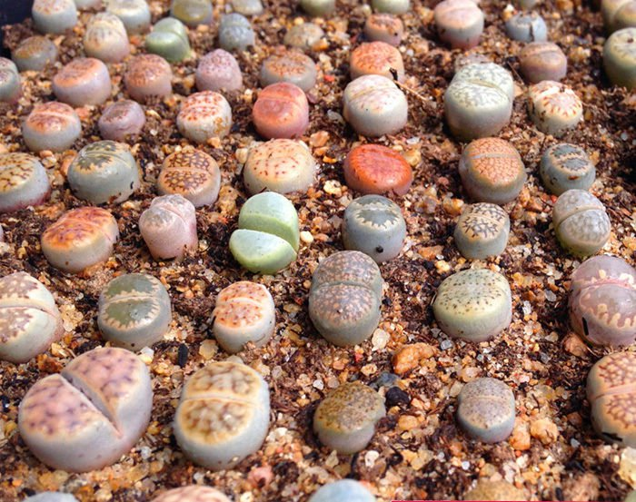 Lithops species mix 10�50�100 seeds  succulent cactus living stones *SHIPPING FROM US* CombSH C71