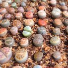 Lithops species mix 10,50,100 seeds  succulent cactus living stones *SHIPPING FROM US* CombSH C71
