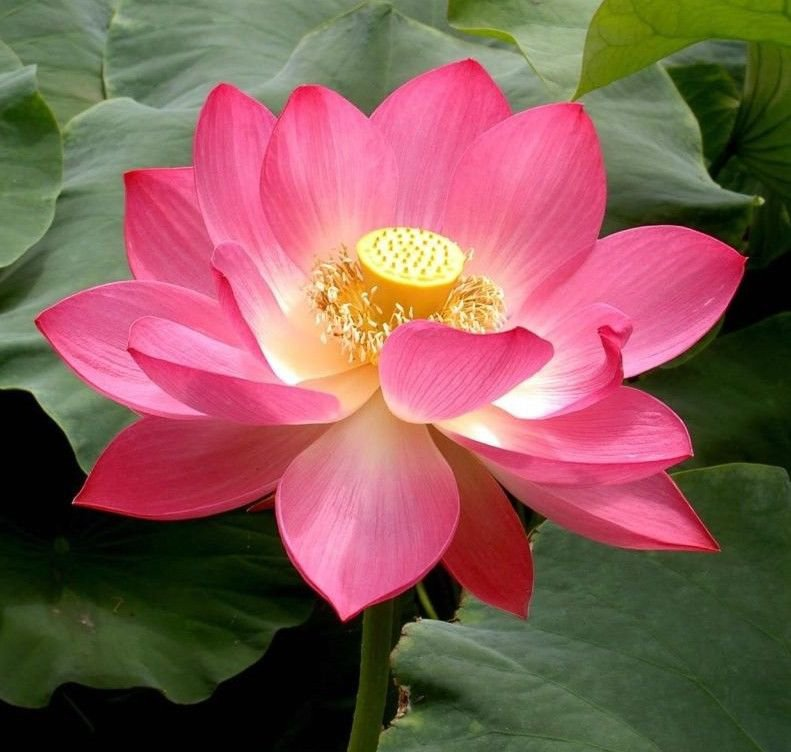 Pink Sacred Lotus Nelumbo Nucifera seeds * Not water lily *Easy grow* *SHIPPING FROM US* CombSH A37