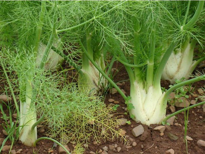 Fennel Florence 300 seeds  Foeniculum Vulgare * Grow your own herb * *SHIPPING FROM US* CombSH E53