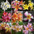 Frangipani Plumeria Rubra 10 SEEDS MIXED COLORS Hawaiian lei flower *SHIPPING FROM US* CombSH M76