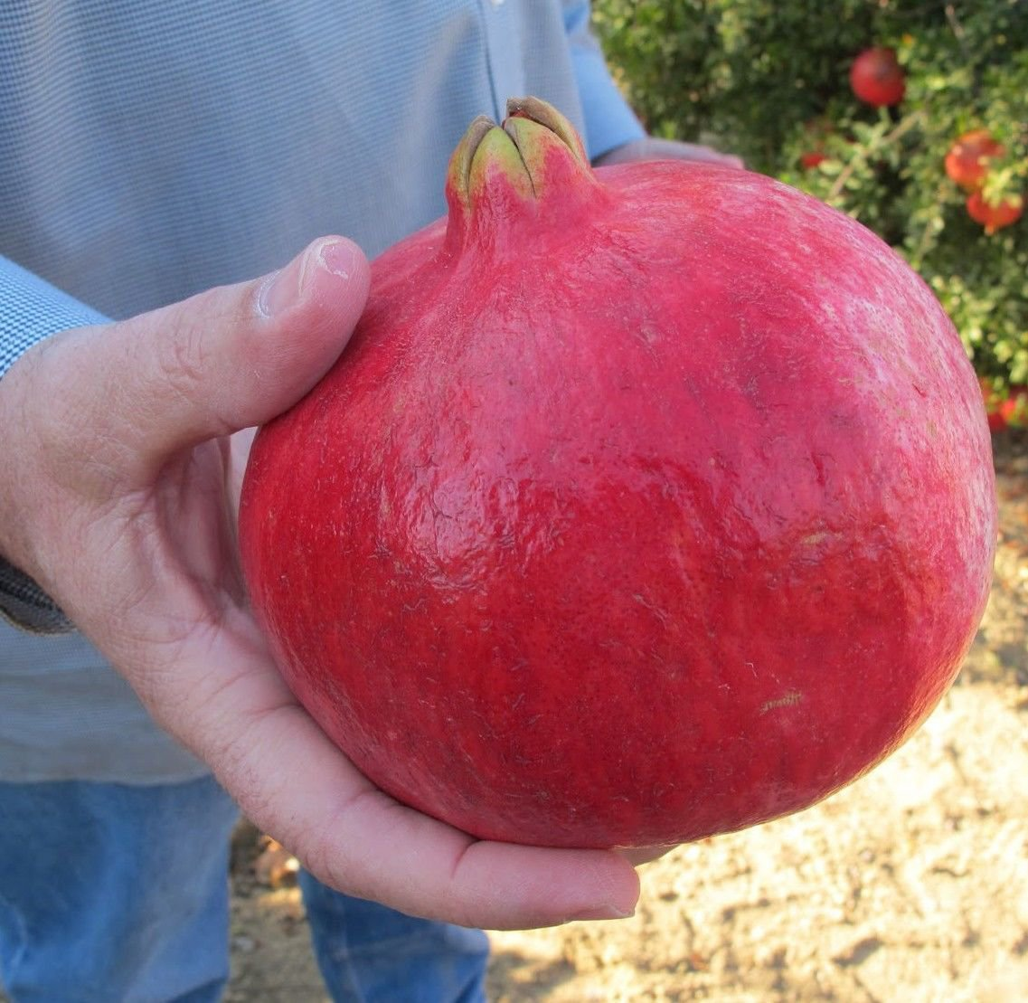 Giant Pomegranate 10 seeds *Non-GMO * Heirloom* Rare* *SHIPPING FROM US* CombSH A26