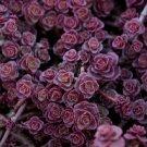 100 Sedum Purple Carpet seeds Deep Rose Pink Flowering succulent *SHIPPING FROM US* CombSH