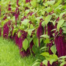 500 Amaranthus caudatus seeds  love lies bleeding  Garden Flower CombSH I45