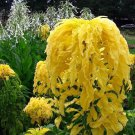 Amaranthus Tricolor - Yellow 100 seeds * Eye catching* Showy * E78
