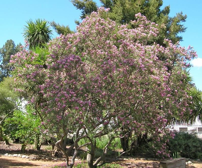 30 Desert Willow seeds �Chilopsis linearis� Ornamental Tree *SHIPPING FROM US* CombSH