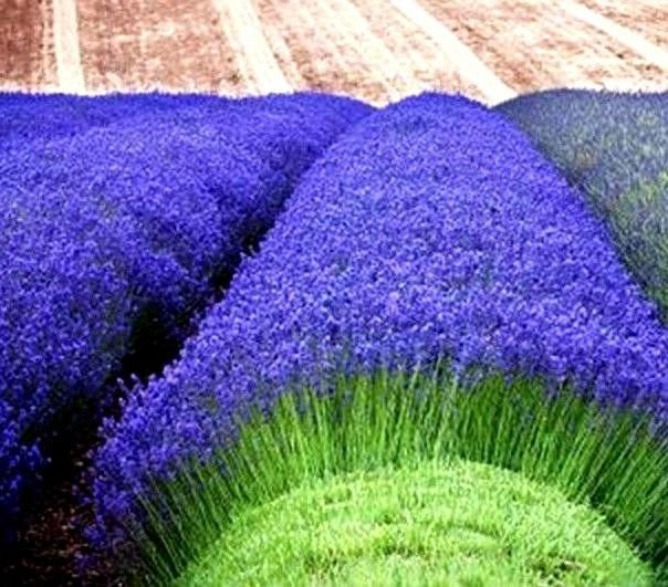 Lavender Munstead 50 seeds Lavandula Angustifolia Munstead * Fragrant *SHIPPING FROM US* CombSH D73