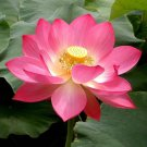 Pink Sacred Lotus Nelumbo Nucifera 5 seeds Not water lily  *SHIPPING FROM US* CombSH
