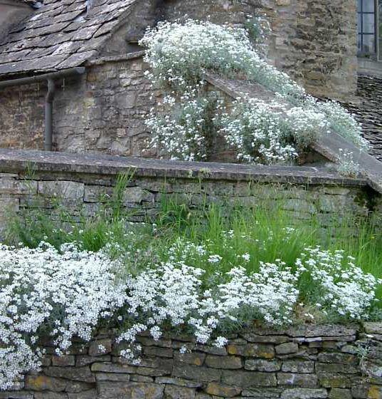1000 +  Snow in Summer (Cerastium biebersteinii) seeds  Groundcover CombSH I46