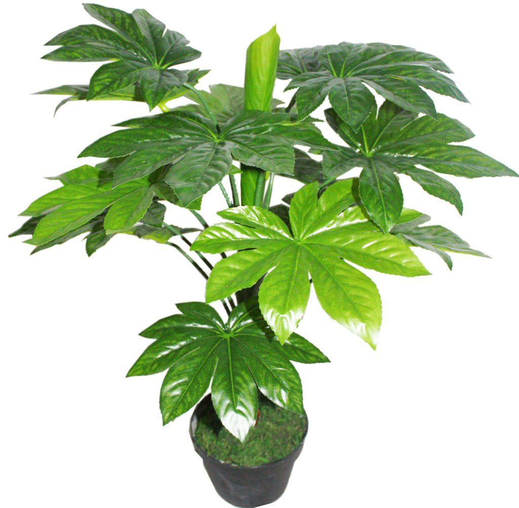 10 + japanese aralia (Fatsia japonica) seeds Ornamental Bonsai shrub Tree I72