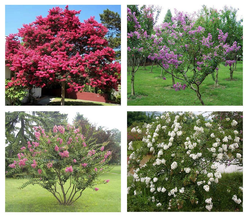 50 + Common Crape myrtle seeds Lagerstroemia indica Mix Color Ornamental *SHIPPING FROM US* CombSH