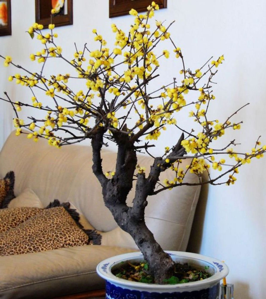 Winter sweet Chimonanthus praecox 5 seeds * Very Fragrant *Tree / bonsai* *SHIPPING FROM US* CombSH