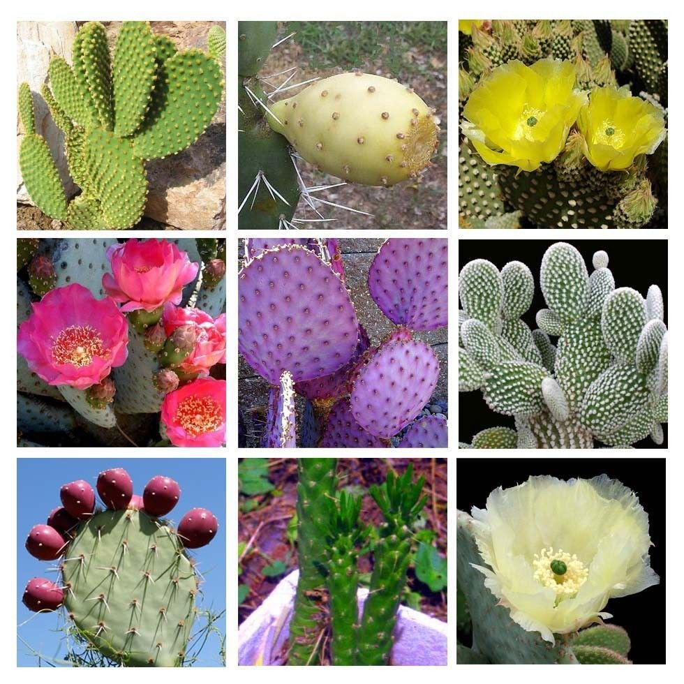 10 Cactus Opuntia mixed seeds * Amazing Flower * Edible Fruit *  *SHIPPING FROM US* CombSH C31