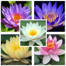 Water lily Mix Nymphaeaceae 10 seeds * Fresh seeds * Not lotus * *SHIPPING FROM US* CombSH