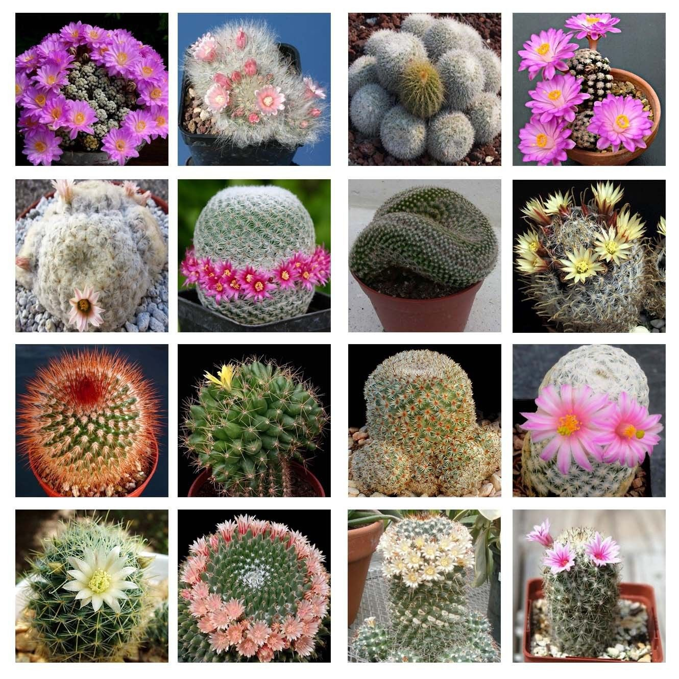 10 Mammillaria mix seeds *Easy grow * Care free * Cactus�succulent *SHIPPING FROM US* CombSH C32