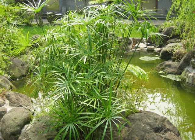 100 Umbrella  Plant seeds Cyperus Alternifolius ornamental water plant *SHIPPING FROM US* CombSH