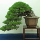 Japanese Black Pine 10 seeds * Pinus thunbergii * Bonsai * Ornamental * *SHIPPING FROM US* CombSH