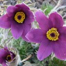 Violet Pasque Flower Anemone Pulsatilla Vulgaris Violet 25 seed perennial *SHIPPING FROM US* CombSH