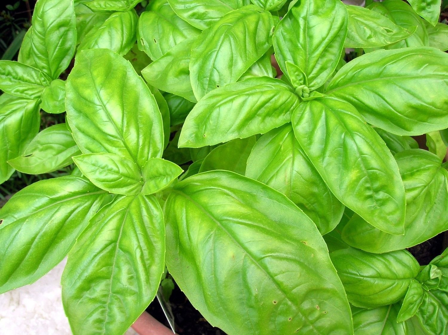 Basil - Italian Large leaf 1000 seeds * Grow your own herb *ez grow* *SHIPPING FROM US* CombSH H46