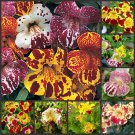 Tiger Monkey Flower 1000 seeds Mimulus tigrinus  *SHIPPING FROM US* CombSH B34
