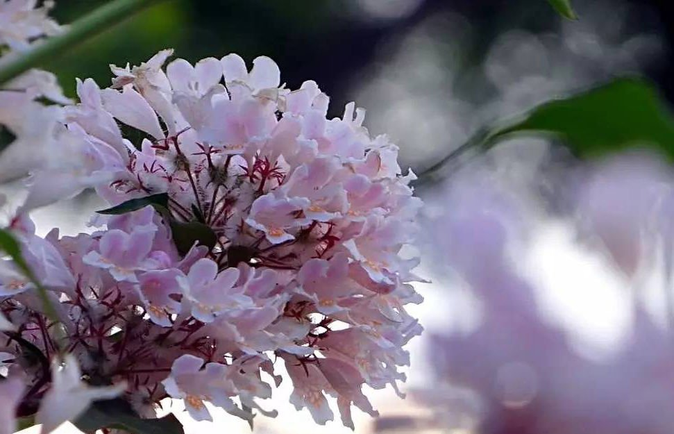 20 Beauty Bush (kolkwitzia amabilis) seeds Tree/Ornamental Flower *SHIPPING FROM US* CombSH