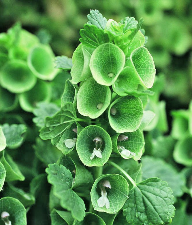 Bells of Ireland 150 seeds Shell Flower  Moluccella laevis easy grow *SHIPPING FROM US* CombSH I37