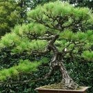 Chinese white pine 10 seeds Pinus armandii Ornamental  Bonsai  tree seeds *SHIPPING FROM US* CombSH
