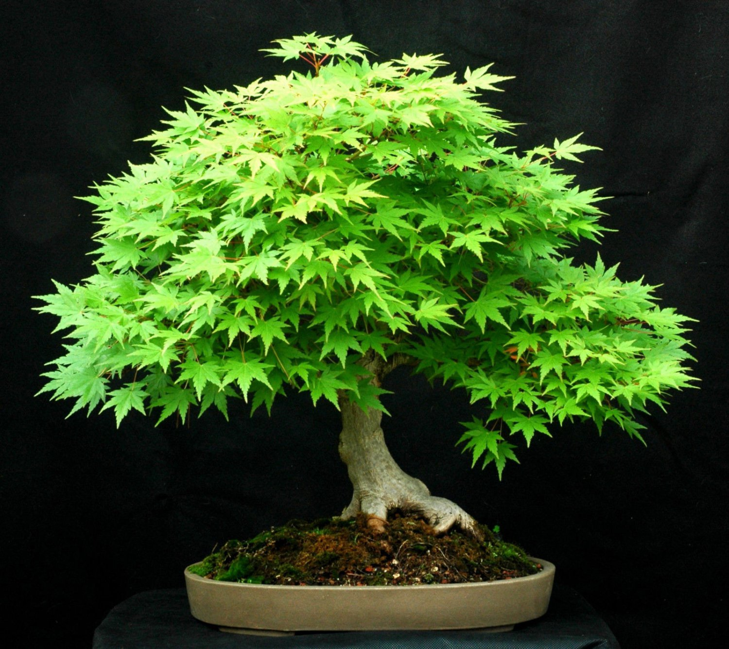 10 Green Japanese Maple (acer palmatum) seeds Bonsai Maple Tree *SHIPPING FROM US* CombSH