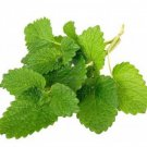Lemon Balm Melissa officinalis 250 seeds * herb * ez grow * *SHIPPING FROM US* CombSH E34