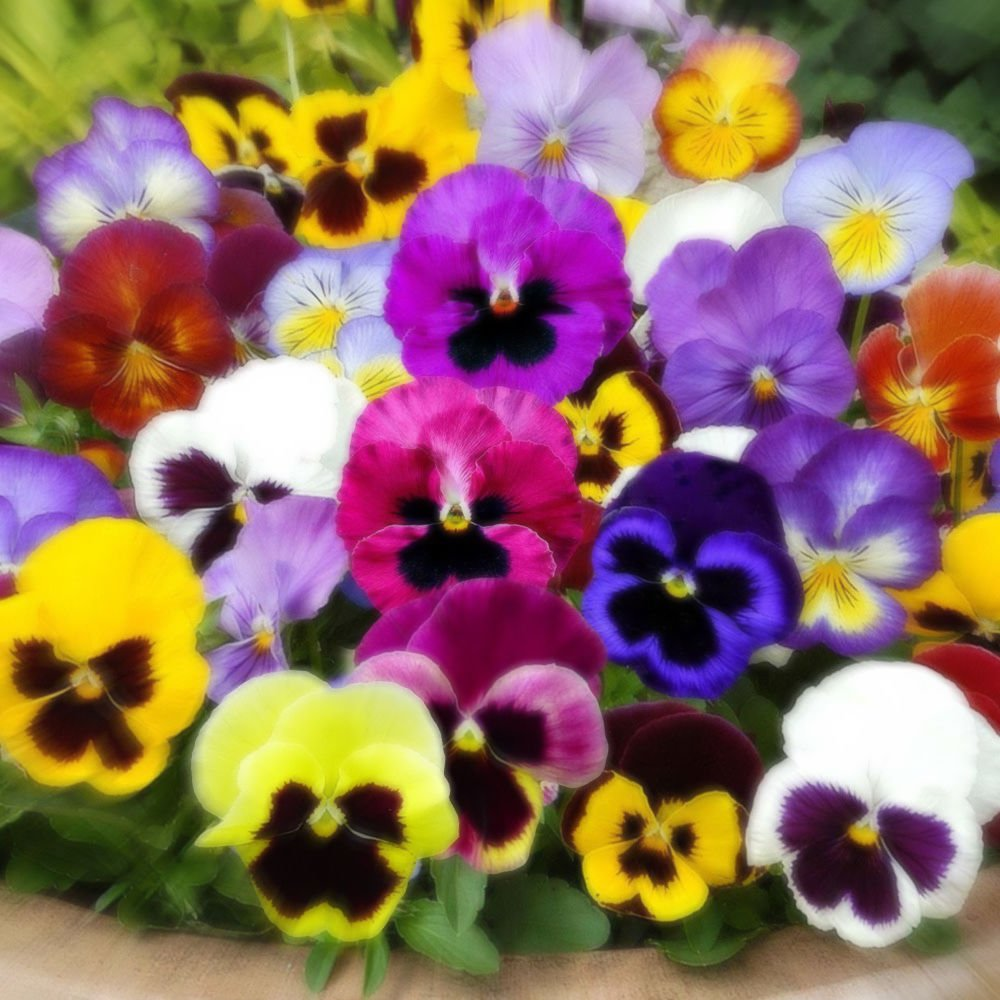 Pansy Swiss Giant 100 seeds Viola x Wittrockiana * Colorful * Easy Grow * *SHIPPING FROM US* CombSH
