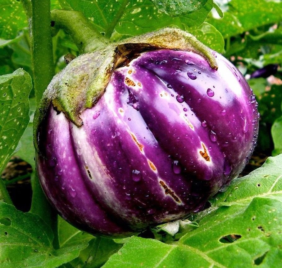 Rosa Bianica Eggplant 250 seeds * NON GMO * ez grow * *SHIPPING FROM US* CombSH I25